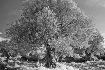 "Ann Ginsburgh Hofkin's photo of an olive tree, titled ""Israel _8 _10,"" has been purchased by the Sacred Arts Festival and is part of the ""Botanical Art in All Its Wonder"" exhibition in the lobby gallery of O'Shaughnessy Educational Center."