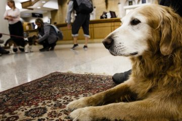 Buddy the Golden Retriever is shown during a visit from therapy animals December 15, 2014 in O'Shaughnessy-Frey Library. The animals were on hand to help students relieve the stress of studying for finals.