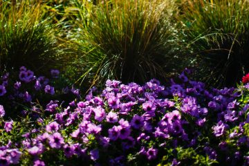 Purple flowers and grass frame the Harpole Memorial Fountain September 13, 2013 as the silhouette of Aquinas Hall looms in the background.