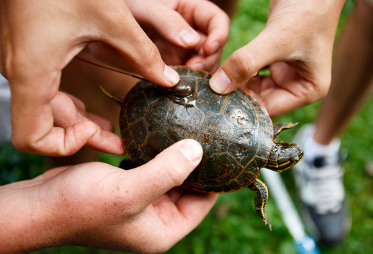 Biochemistry students David Houserman and Grant Schmura affix a wireless tracking device to a painted turtle. (Photo by Mark Brown)