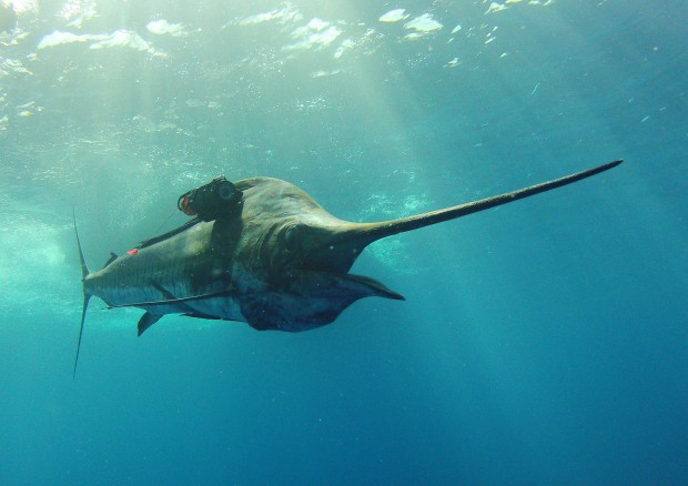 Pacific sailfish by Same Friederichs