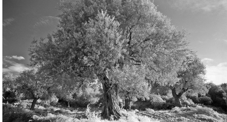 """Ann Ginsburgh Hofkin's photo of an olive tree, titled """"Israel _8 _10,"""" has been purchased by the Sacred Arts Festival and is part of the """"Botanical Art in All Its Wonder"""" exhibition in the lobby gallery of O'Shaughnessy Educational Center."""
