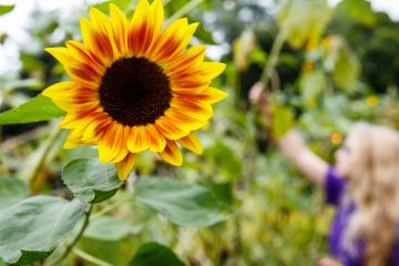 A sunflower blooms at the University of St. Thomas Stewardship Garden on south campus on September 22, 2015 in St. Paul.