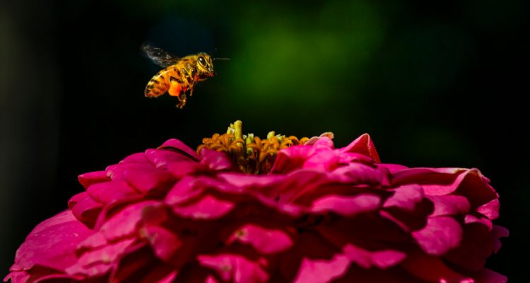 A bee collects pollen from a flower August 11, 2017 in the south campus Stewardship Garden.